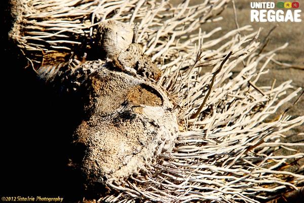 Beach Lion from Alligator Pond © Sista Irie